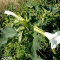 Datura stramoine