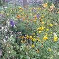 2008 10 24 Quelques fleurs qu'il reste dans mon jardin