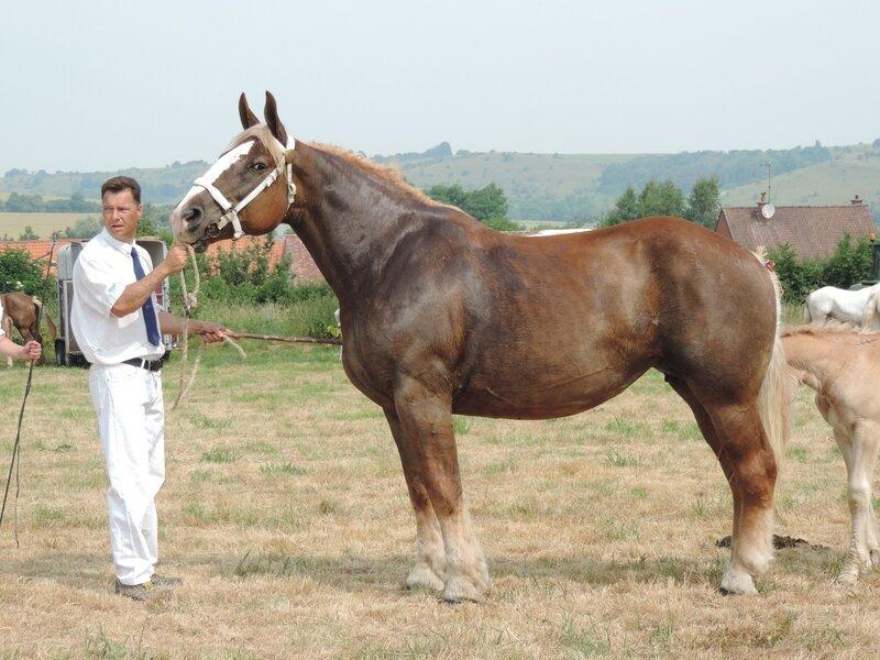 Tornade 137 - 20 Juin 207 - Concours élevage local - Bonningues les Ardres (62) - 1ere (Suitées)