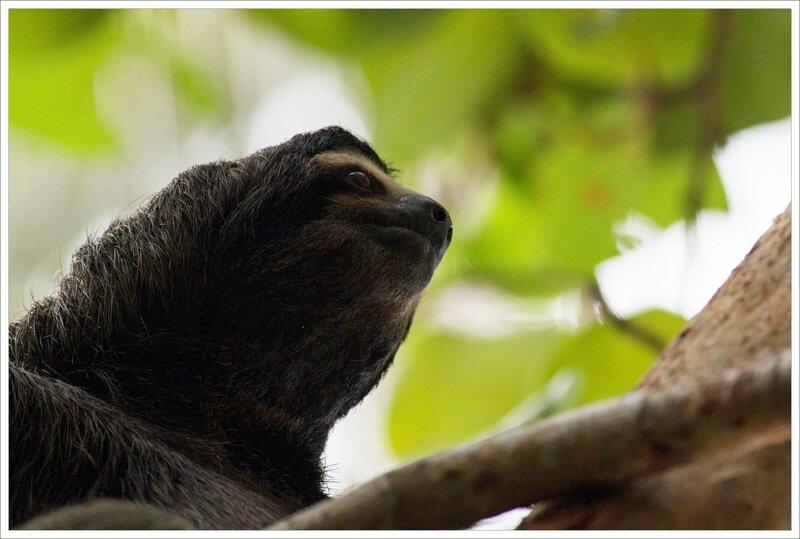 CR 7 Cahuita parc 2015 34 paresseux tete