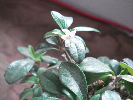 fleur_bonsai_