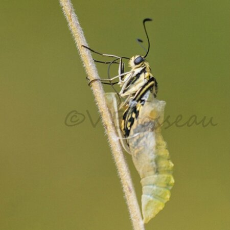 machaon004-1bv