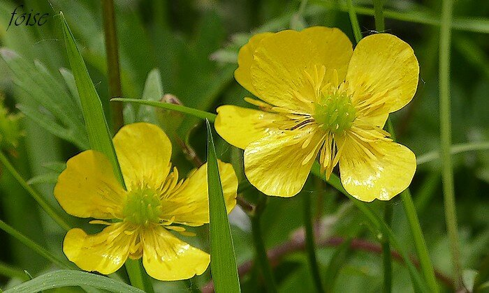 bouton d'or ranunculus repens
