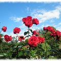 roses rouges2