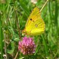 papillon-5