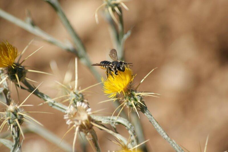 abeille - megachile centuncularis 86