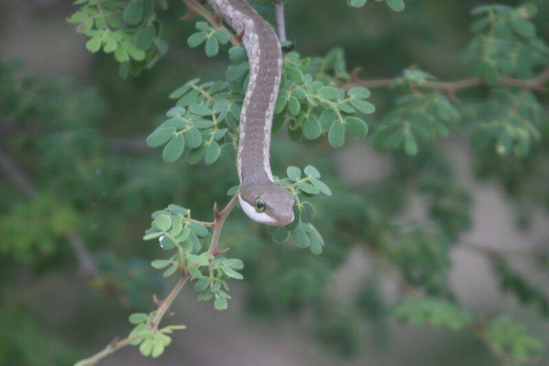Serpent d'arbre du cap