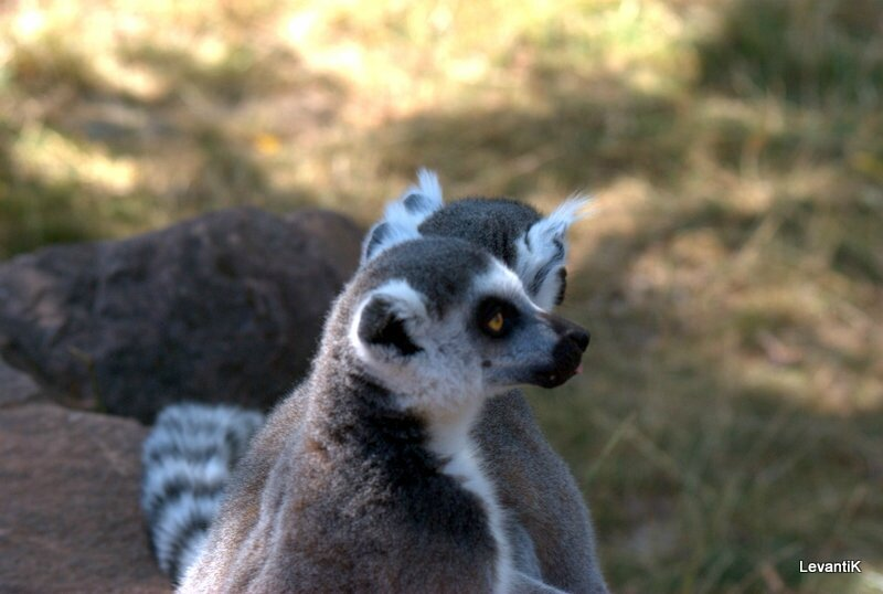 Maki catta - Lemur catta (2)