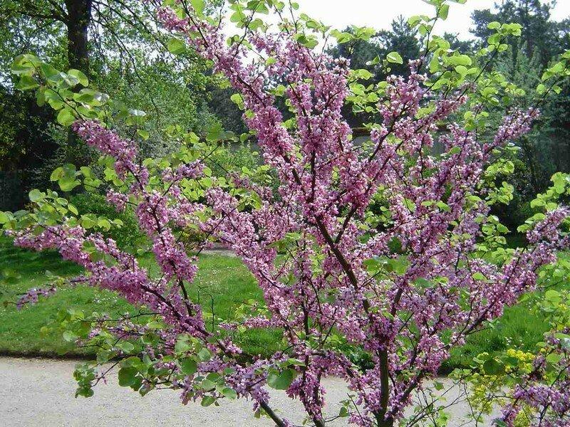 Les arbustes de nos jardins mon beau jardin - Arbuste a floraison hivernale ...