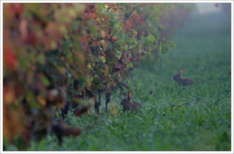 Plaine lapins vigne matin brume 3 300814