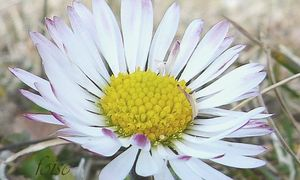 fleurs tubuleuses jaunes