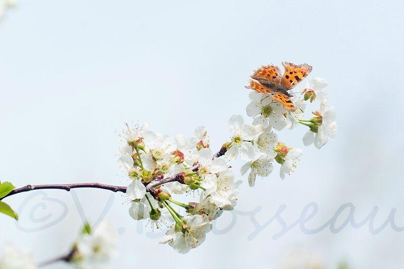 papillon-cerisier14-01