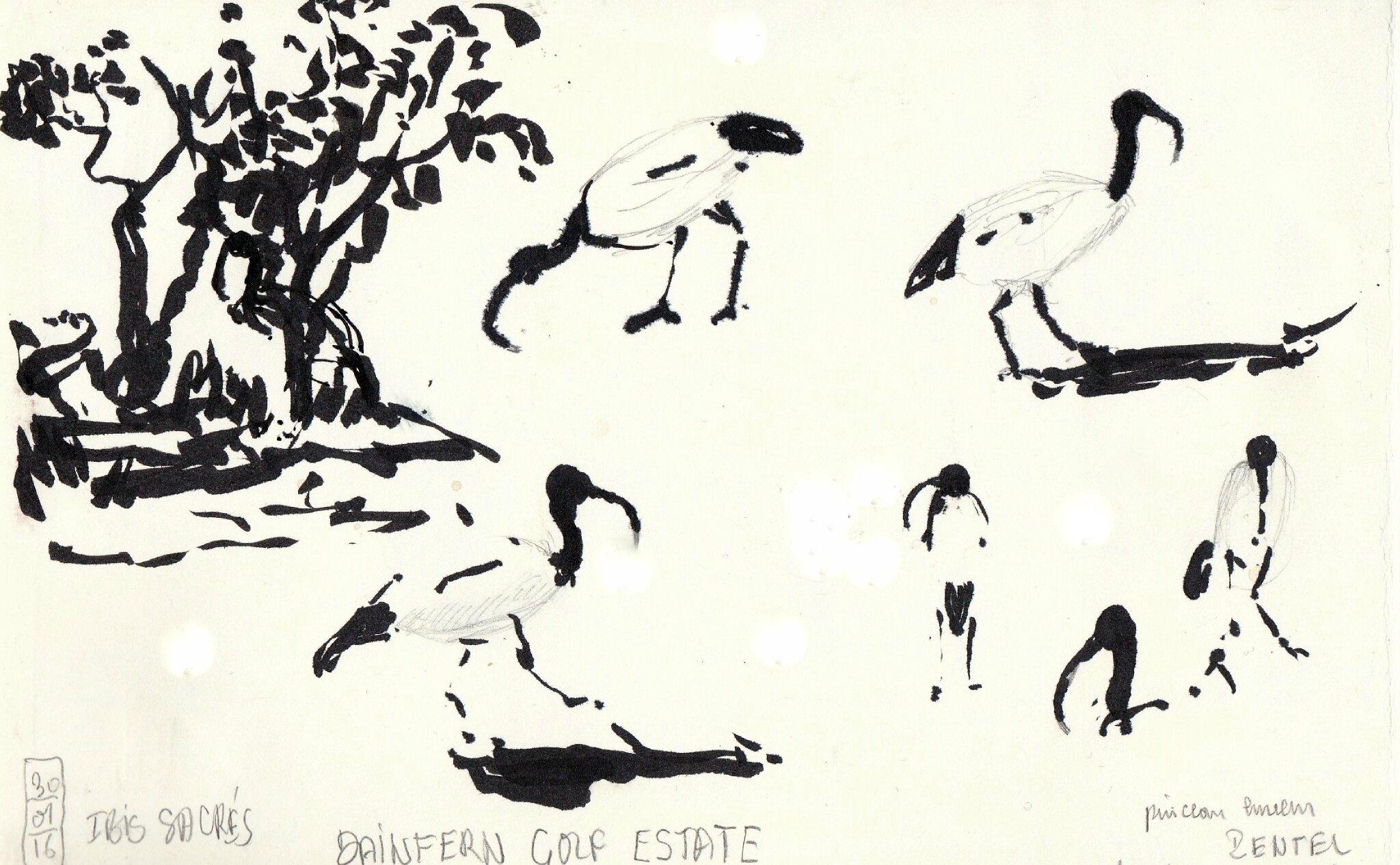AS 16 Ibis royaux , Juskey