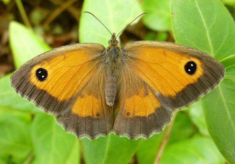 ANIMO papillon
