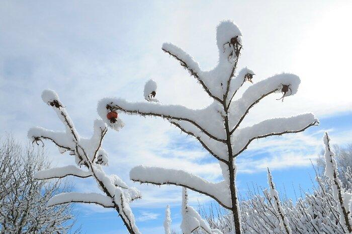 Rosier sous la neige