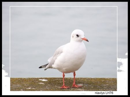 mouette_rieuse_1_jpg
