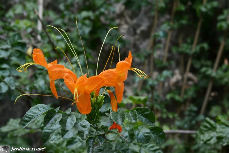 Tecomaria capensis orange