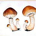 158 Pholiota destruens Hemipholiota populnea