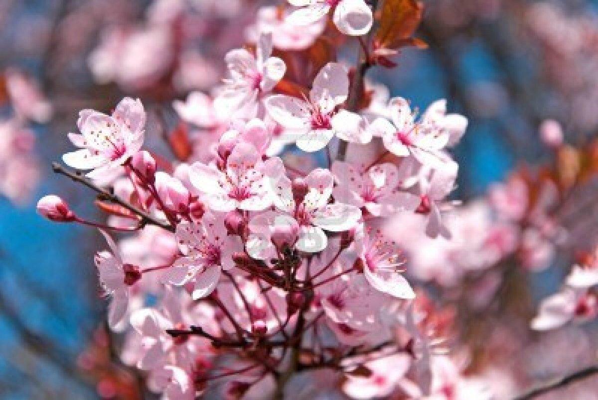fleur-de-cerisier-rose-