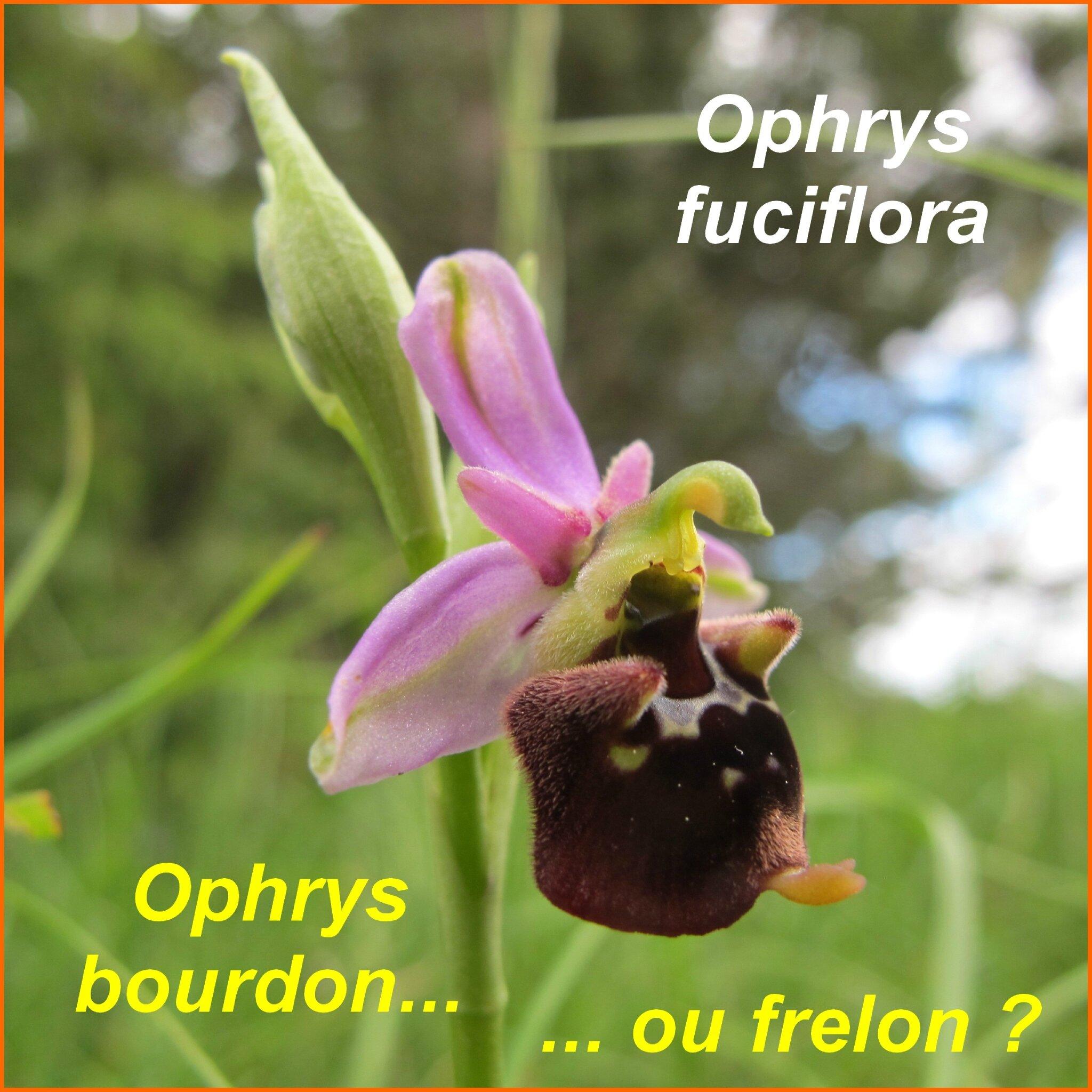 Ophrys fuciflora - bourdon - comp