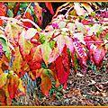 Feuilles colorées et fruits de Phytolaque
