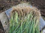 1-poireau-plants (3)