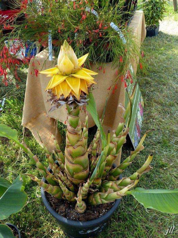 P1490947 Lotus d'or Musella Lasiocarpa