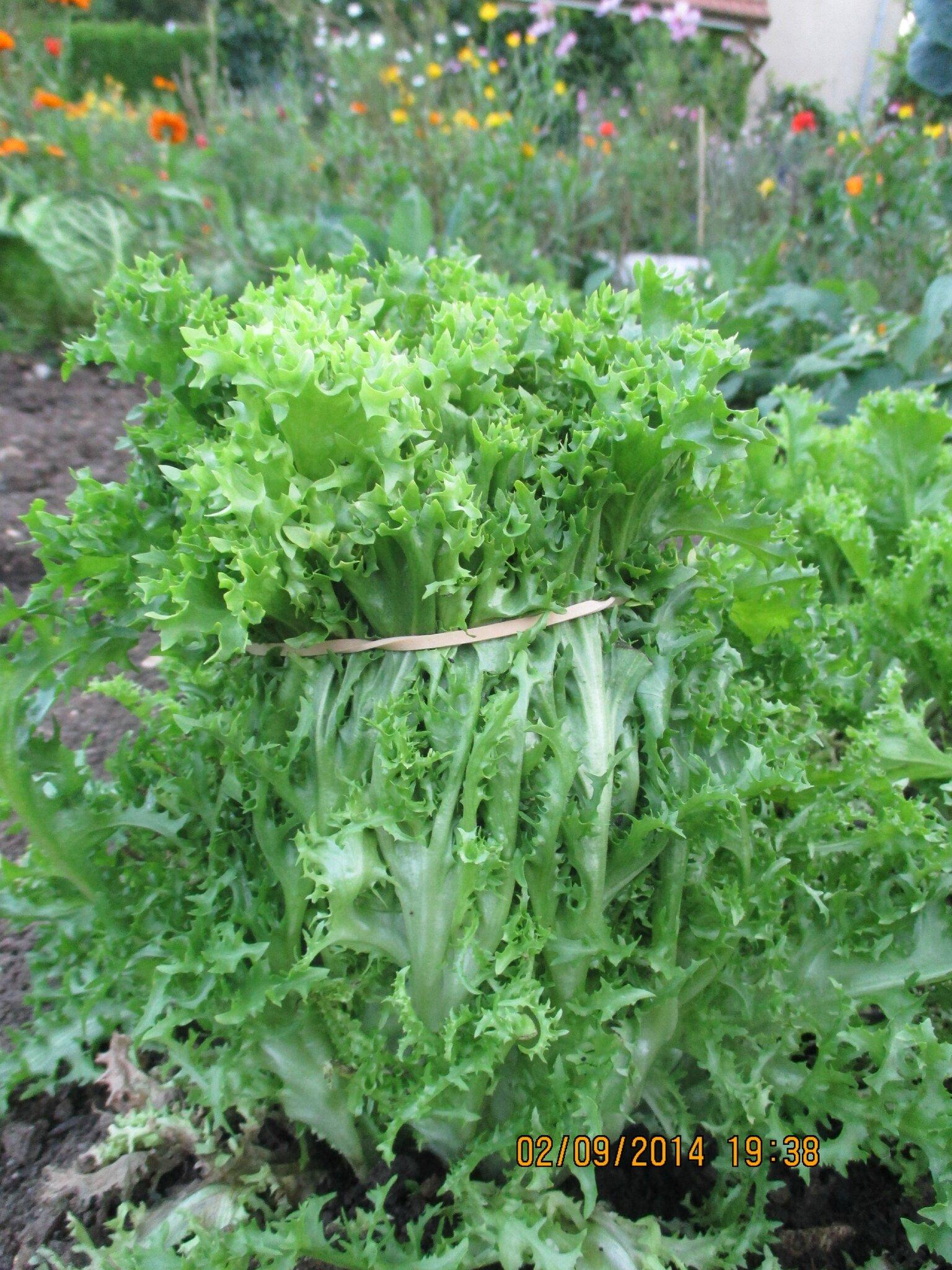 """un p'tit chignon à mes salades,elles seront bien tendres au milieu d'ici quelque temps! prenez soin de vous bon"""" apm"""""""