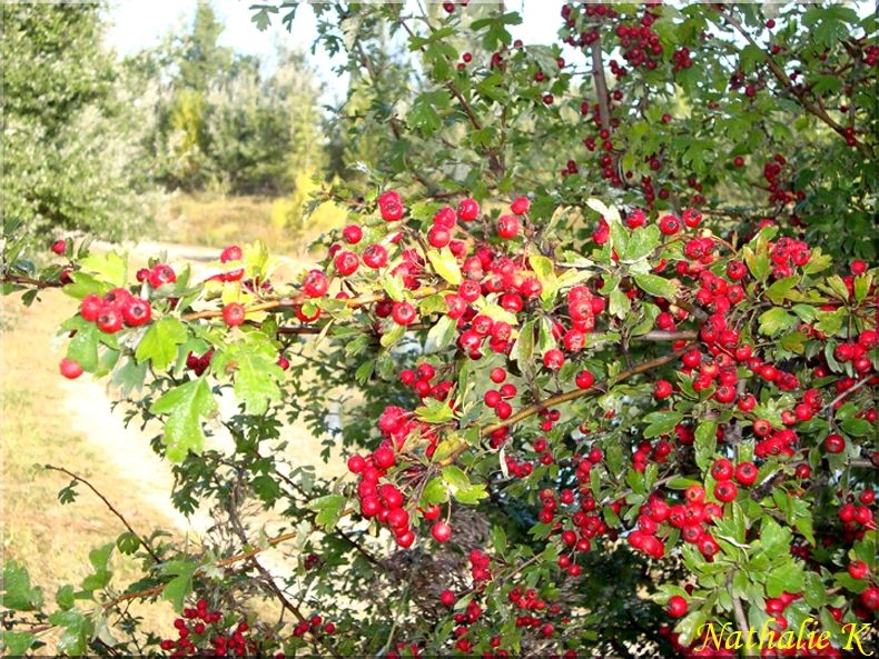 _c__LNK__septembre_2010_Pyracantha_buisson_ardent
