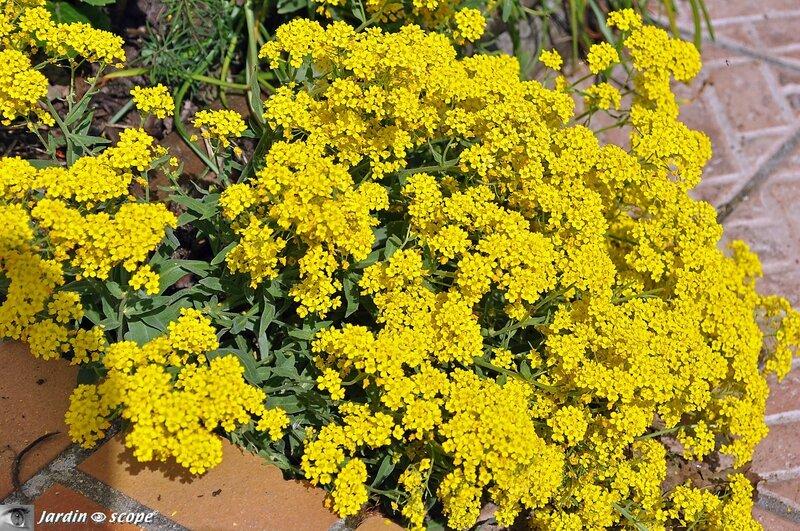 Corbeille d'or • Aurinia saxatile
