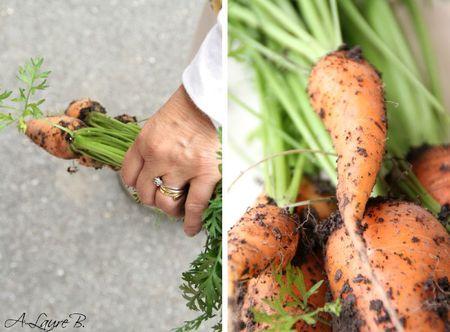 carottes 144 copie