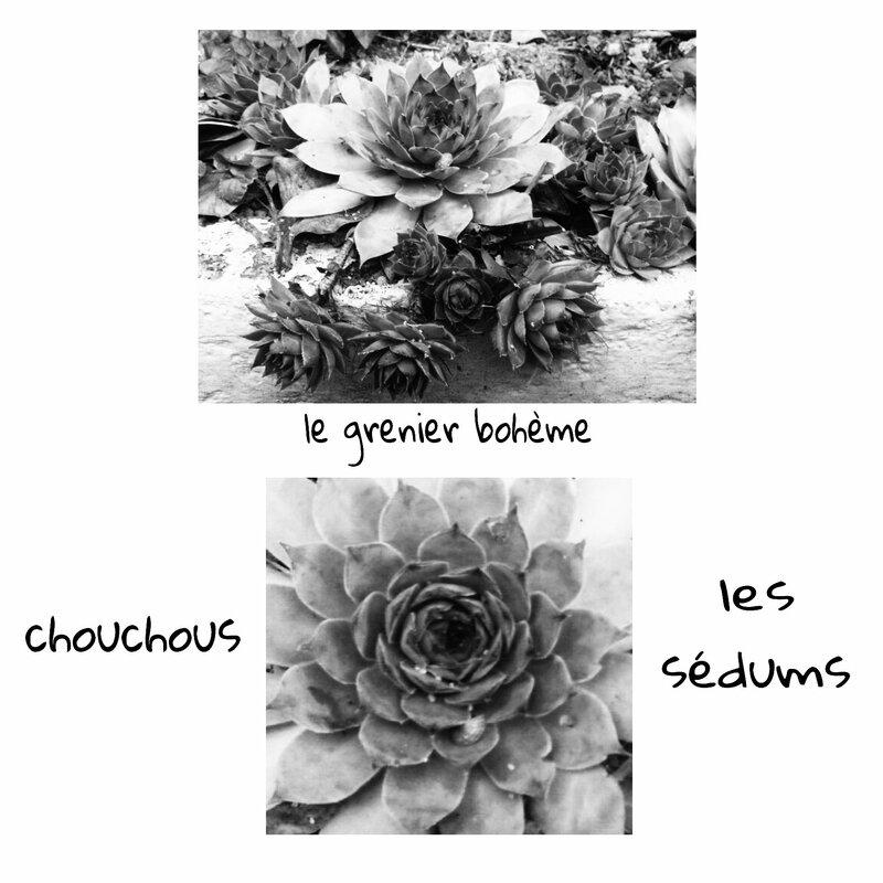 chouchous les sédums 2
