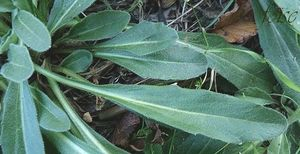 feuilles rétrécies en pétiole