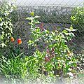 Tulipes et lilas 2013