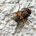 Une mouche inféodée aux ombellifères et aux sureaux