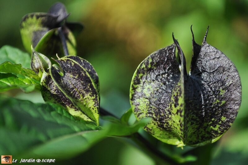 Nicandra-physaloides-fruits