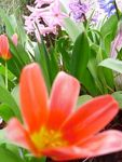 Pot_e_tulipes_jacinthes_REDIMENSS_WEB