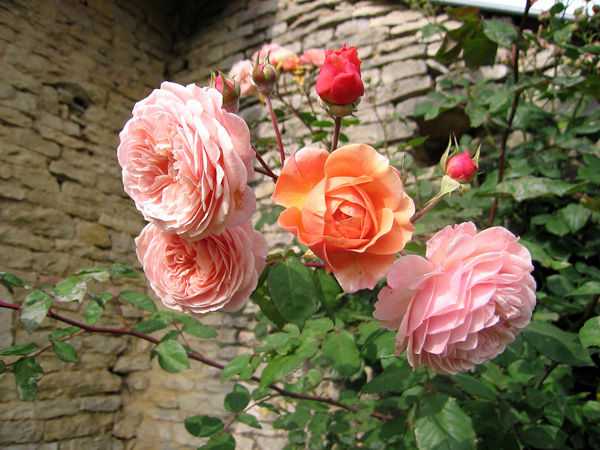Roses__t_