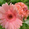célosie plumosa et gerbera