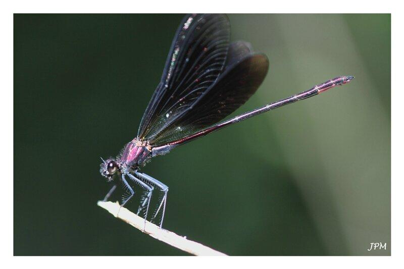 Calopteryx_haemorrhoidalis_280716_5_GF