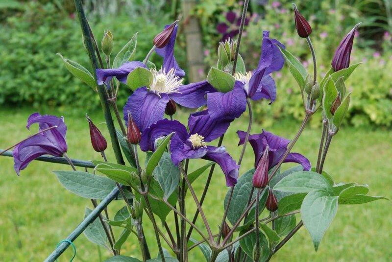 Clematis Blue Pirouette = 'Zobluepi' (PBR)