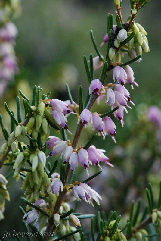 Erica × darleyensis 'Ghost Hills'