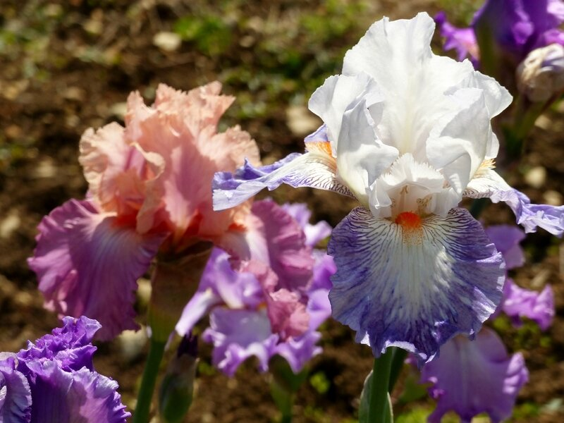 iris conjuration et sweet musette