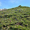 Prairie d'altitude fleurie d'orchidées et gentianes...