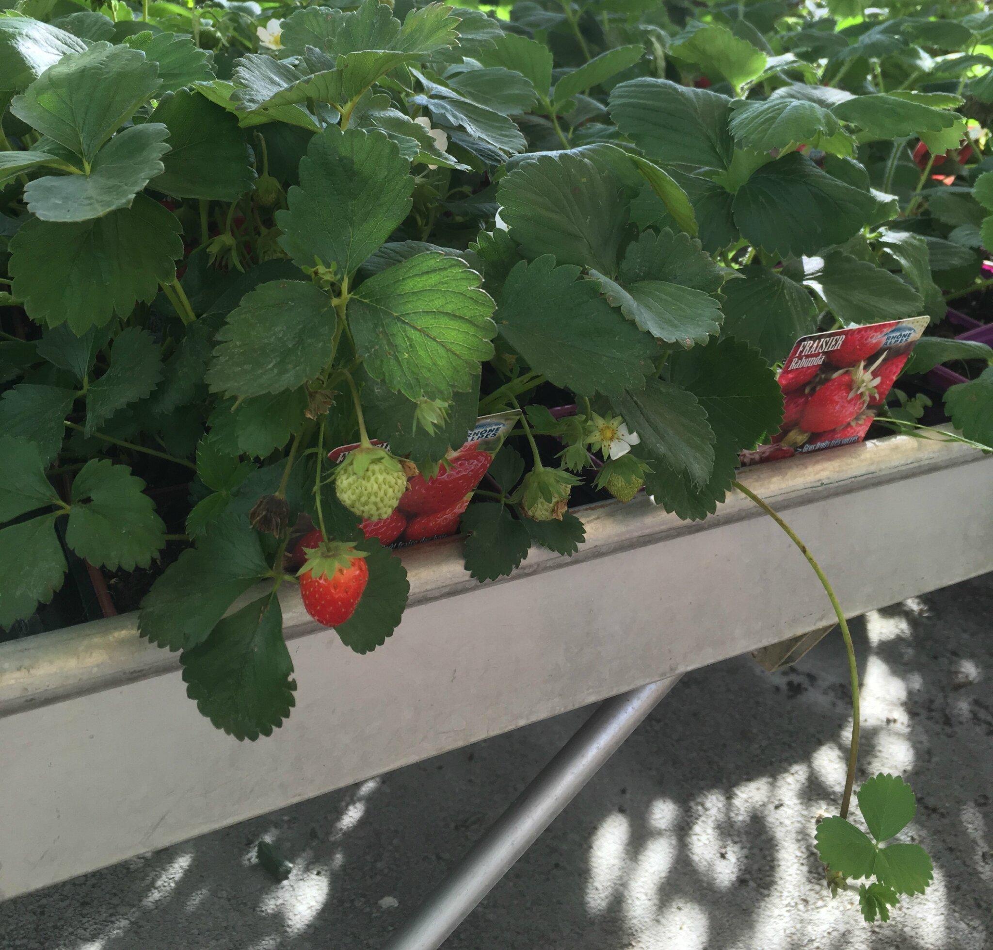 conseils de plantation et entretien des fraisiers jardinerie du jangoux. Black Bedroom Furniture Sets. Home Design Ideas