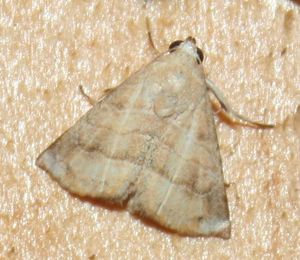 Eublemma baccalix (7)