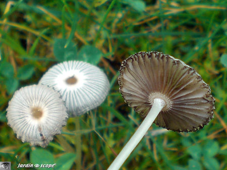 coprinus_plicatilis