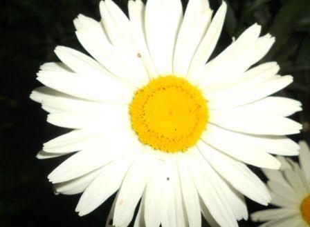 marguerite_seule