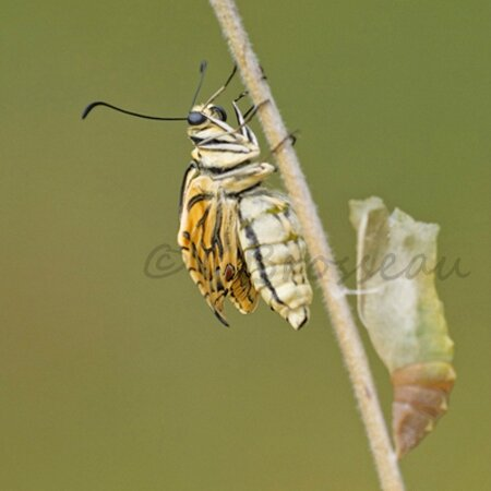 machaon006b