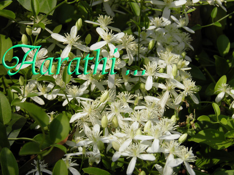 Virgin's Bower - Clematis recta